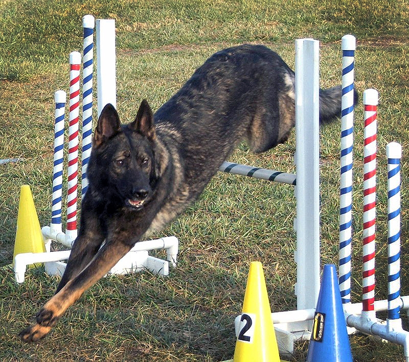 Vom Banach K9 Agililty and Competitive Obedience-Hurdle jumping