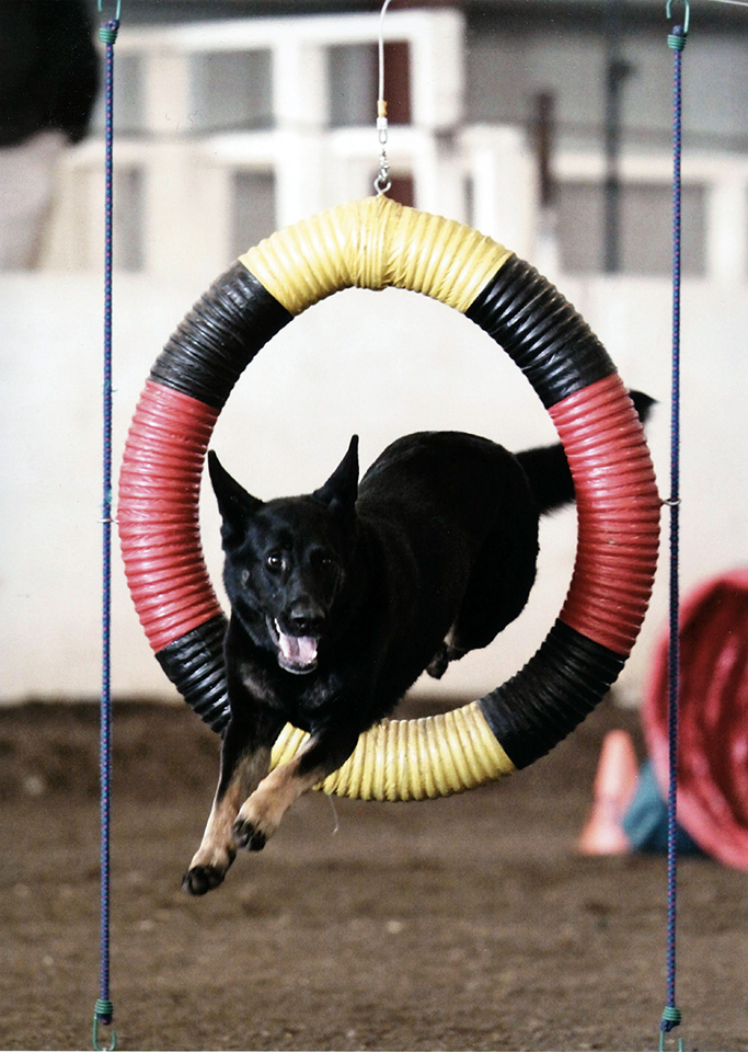 Vom Banach K9 Agililty and Competitive Obedience-Jumping through hoop