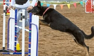 Vom Banach K9 Agililty and Competitive Obedience-Running Obstacles