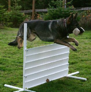Vom Banach K9 Agililty and Competitive Obedience-Hurdle Jumper