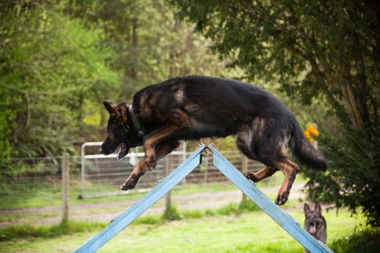 Vom Banach K9 Agililty and Competitive Obedience-Running A-Frame
