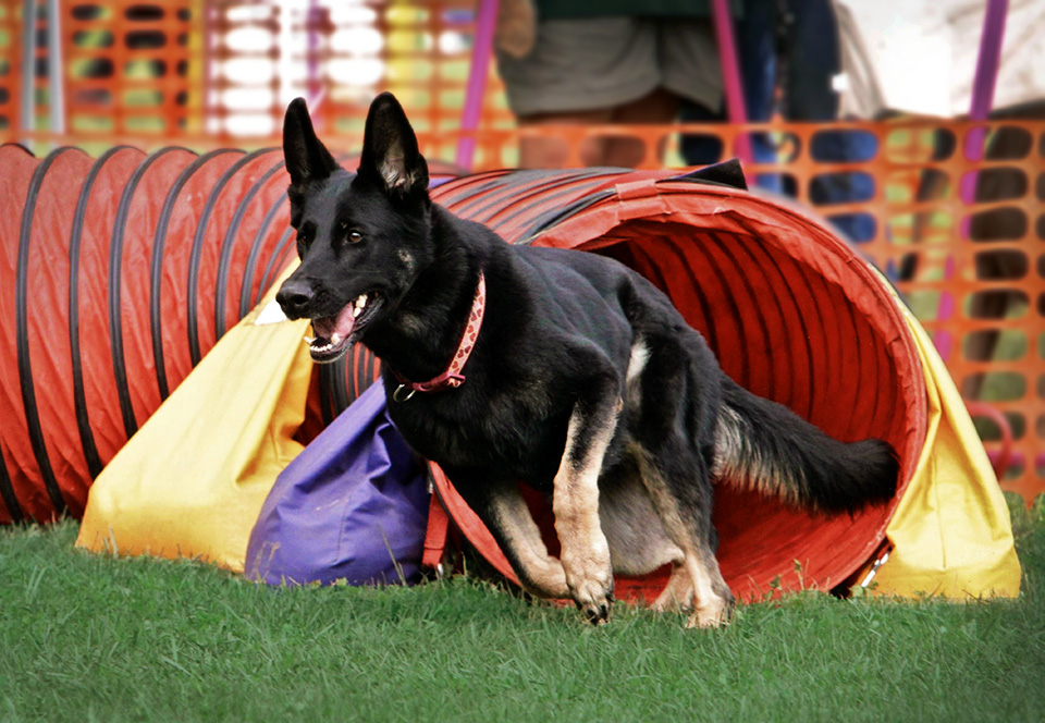 Vom Banach K9 Agililty and Competitive Obedience-Tunnel Running