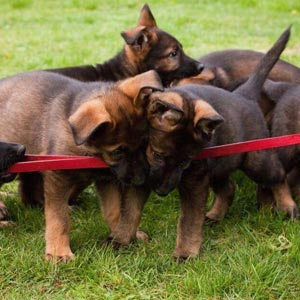 German Shepherd Puppies playing with toy