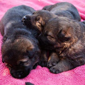 Resting German Shepherd Puppies
