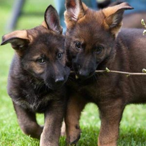 Two German Shepherd puppies carrying branch