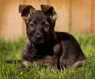 If you're considering a Vom Banach K9, a DDR/Czech or West German working dog, or any other working line breed, we ask that you consider these questions as part of your deliberation.
